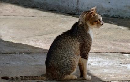 Цейлонский кот