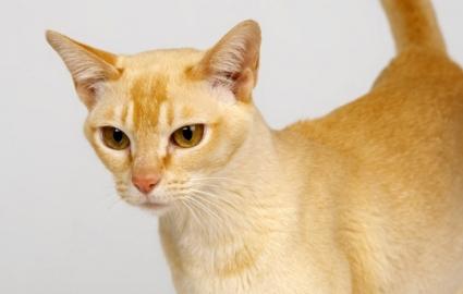 Цейлонская кошка: фото