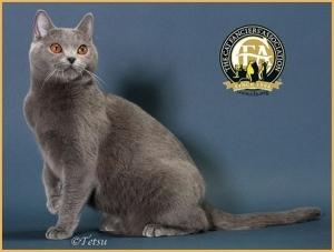 Коты породы шартрез - фото