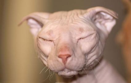 Фото кошек породы украинский левкой