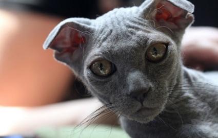 Кошка левкой - фото