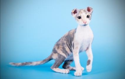 Кошка украинский левкой - фото