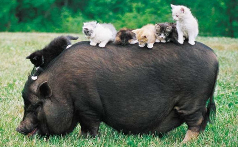 Свинина в рационе кошки и собаки – вечная анафема? Можно ли кошкам и собакам свинину?