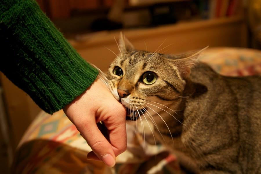 Агрессивное поведение кота