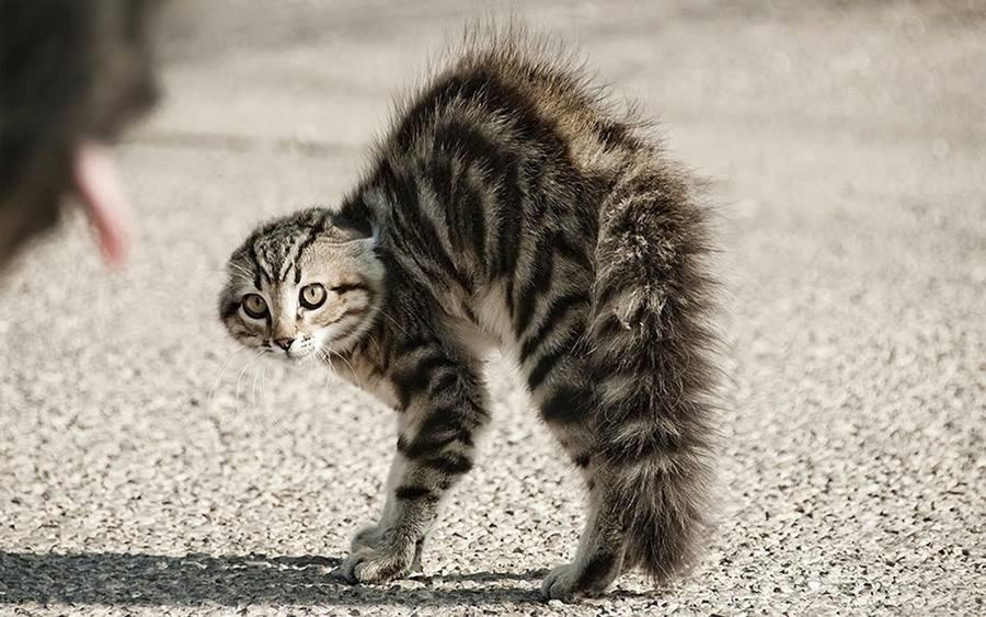 Почему воет кот