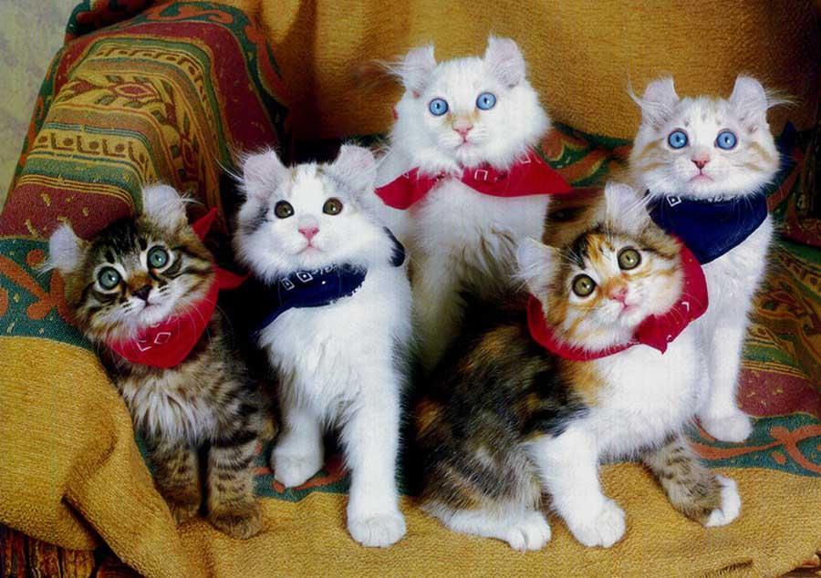 Американский кёрл: фото котят