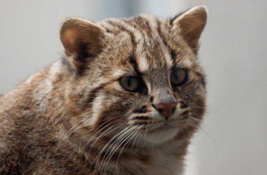 Амурский лесной кот: интересные факты