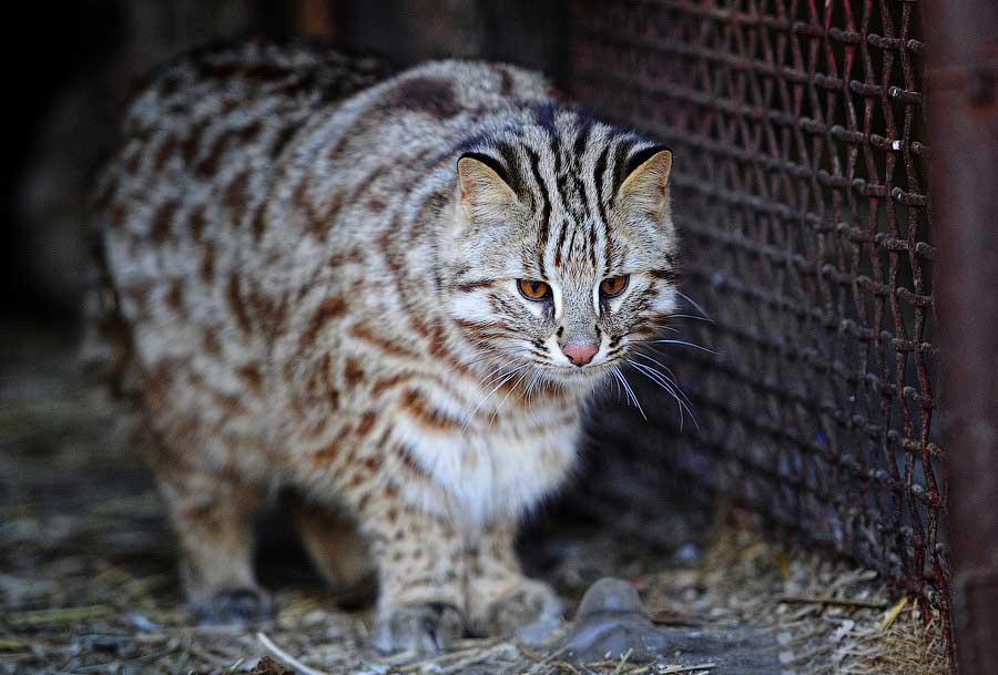 Амурский лесной кот: Красная книга