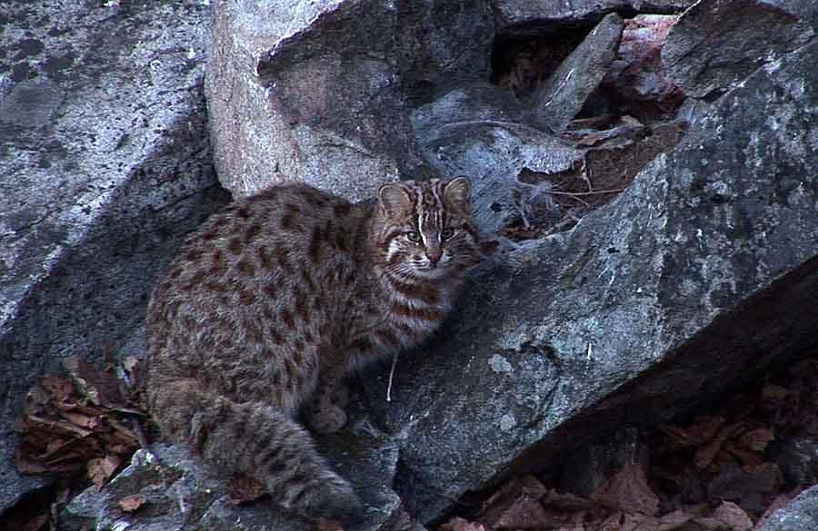 Амурский лесной кот в Красной книге