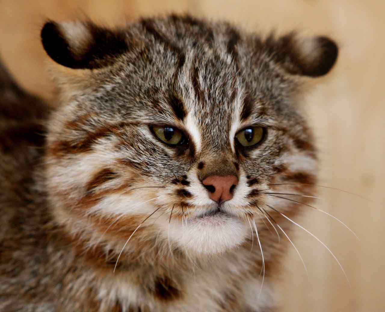 Амурский лесной кот под охраной