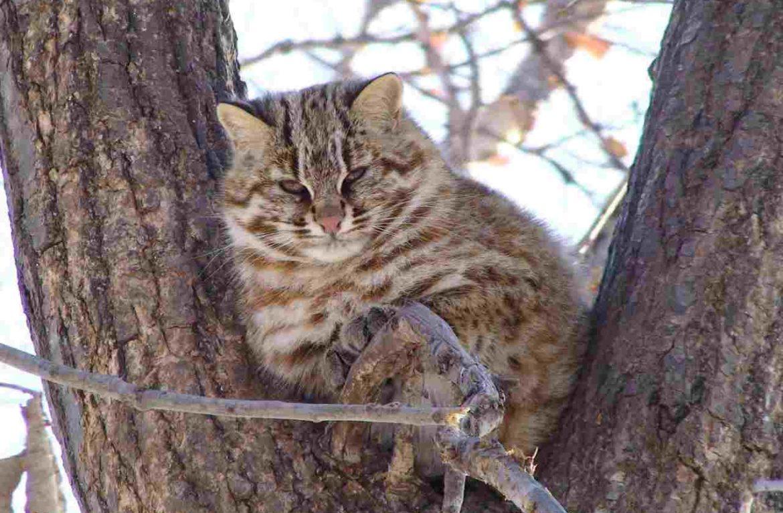 Амурский лесной кот: Красная книга его бережёт