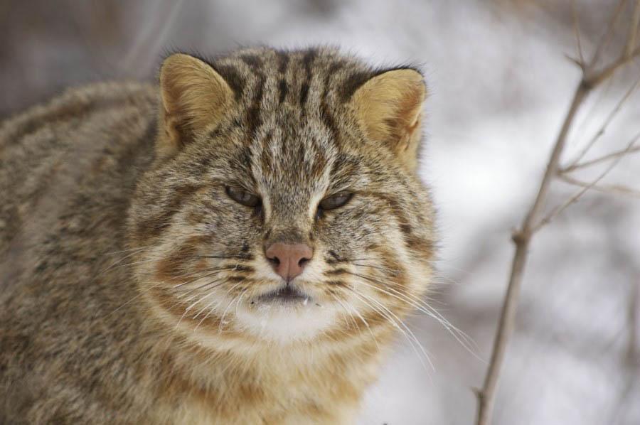 Амурский лесной кот: сообщение