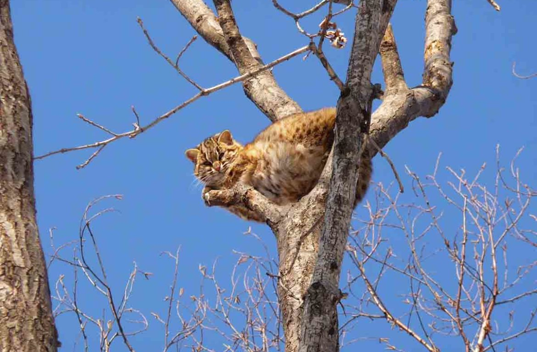 Амурский лесной кот: сообщение об усатой «золушке»
