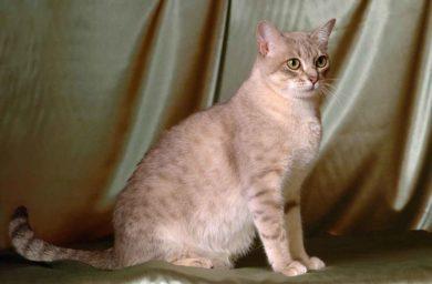 Австралийская кошка: фото