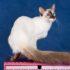 Балинезийская кошка: фото танцовщицы в шёлковом покрывале