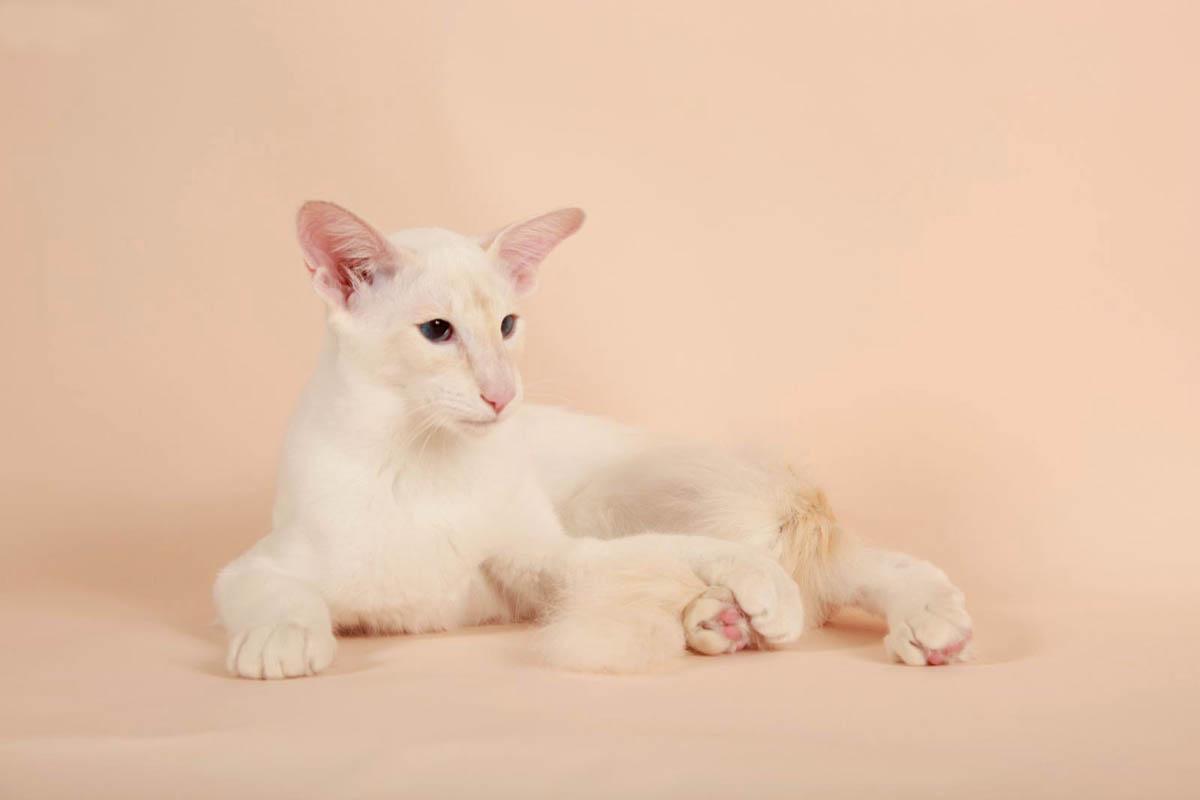 Купить балинезийскую кошку