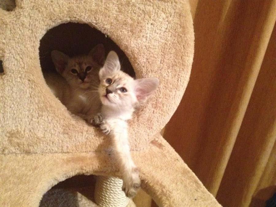 Балинезийская порода кошек: фото