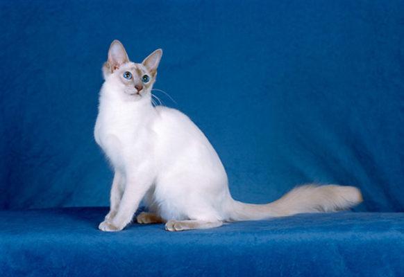 Балинезийский кот: фото