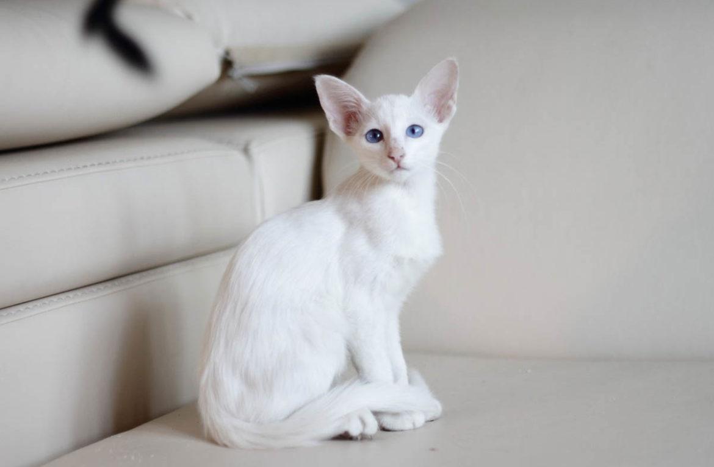 Балинезийская кошка: купить и не ошибиться