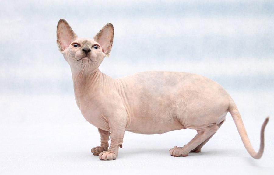 Кошка бамбино: цена