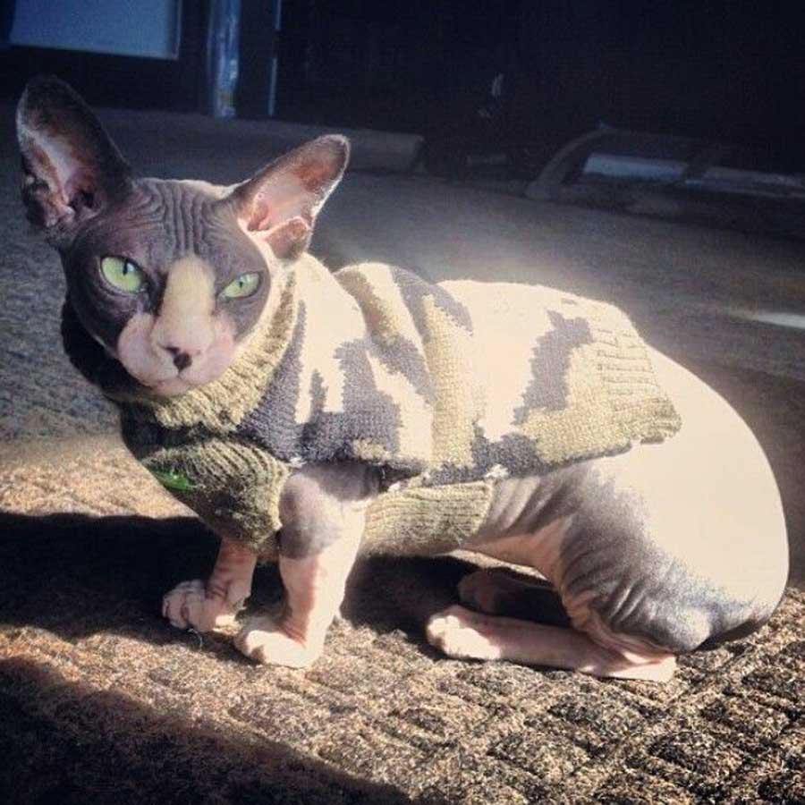 Кошка бамбино: фото