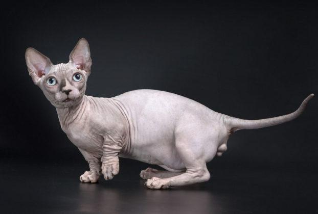 Фото кота бамбино