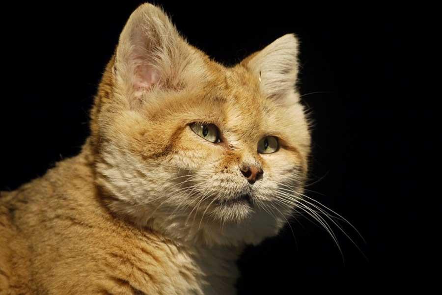 Бархатный кот