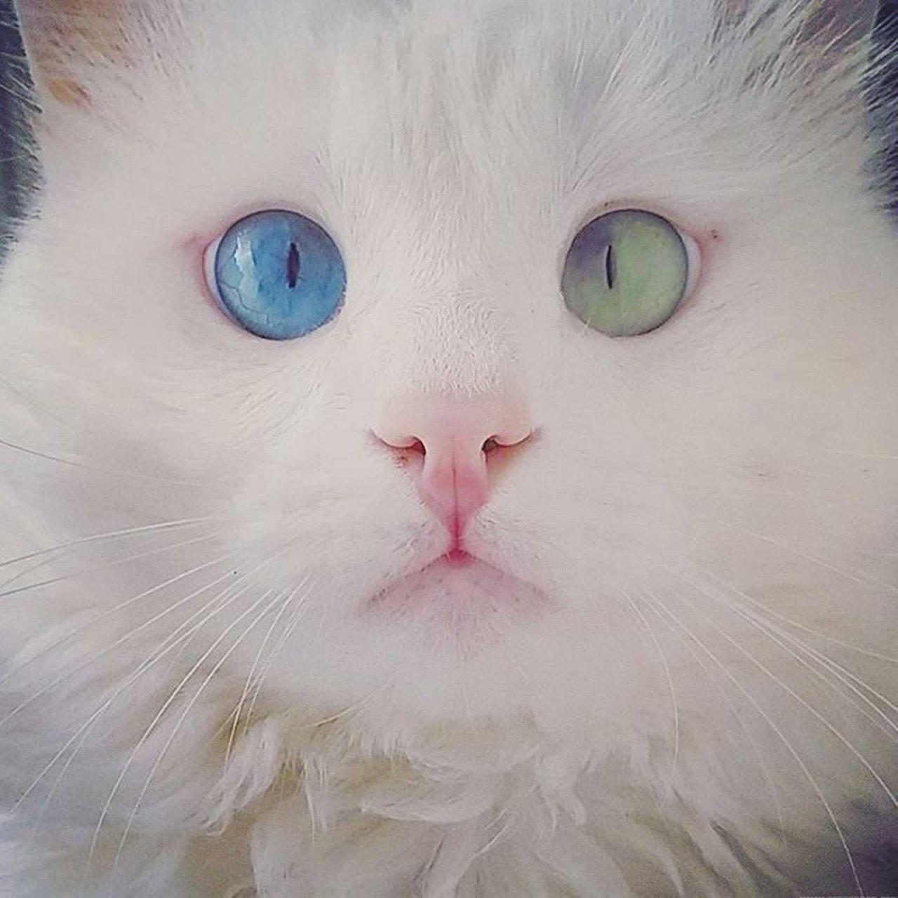 Фото белого кота с разными глазами