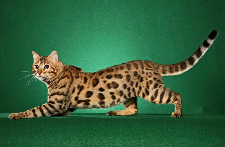 Бенгальская кошка: история породы и не только