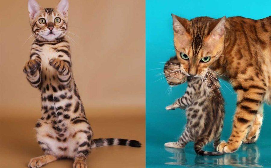 Бенгальская кошка: история породы