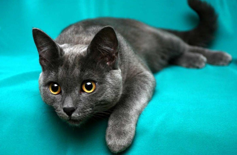 Как сделать шерсть кошки блестящей?