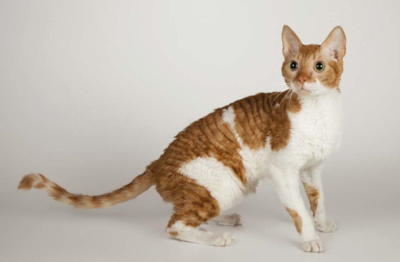 Кошка породы уральский рекс: болезни ей не страшны?