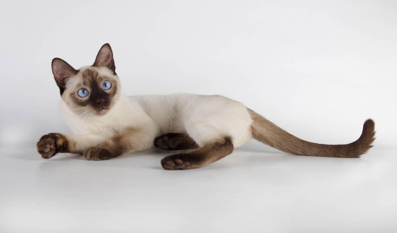 Болезни тайских кошек
