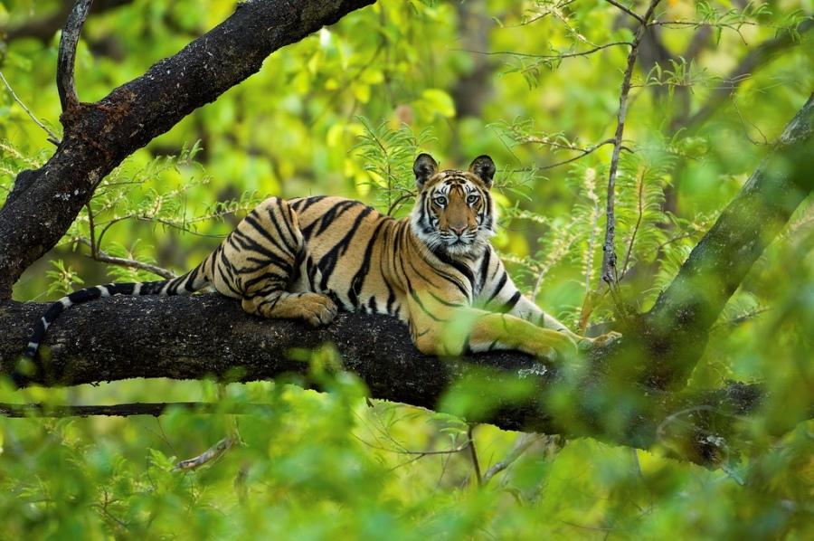 Большие кошки в дикой природе