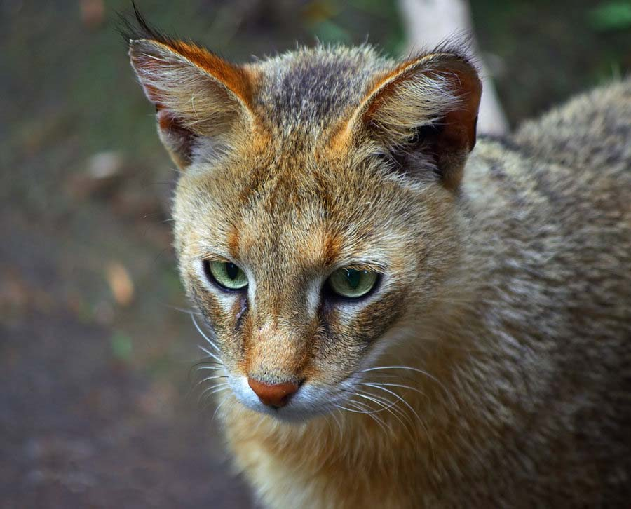 Большой камышовый кот
