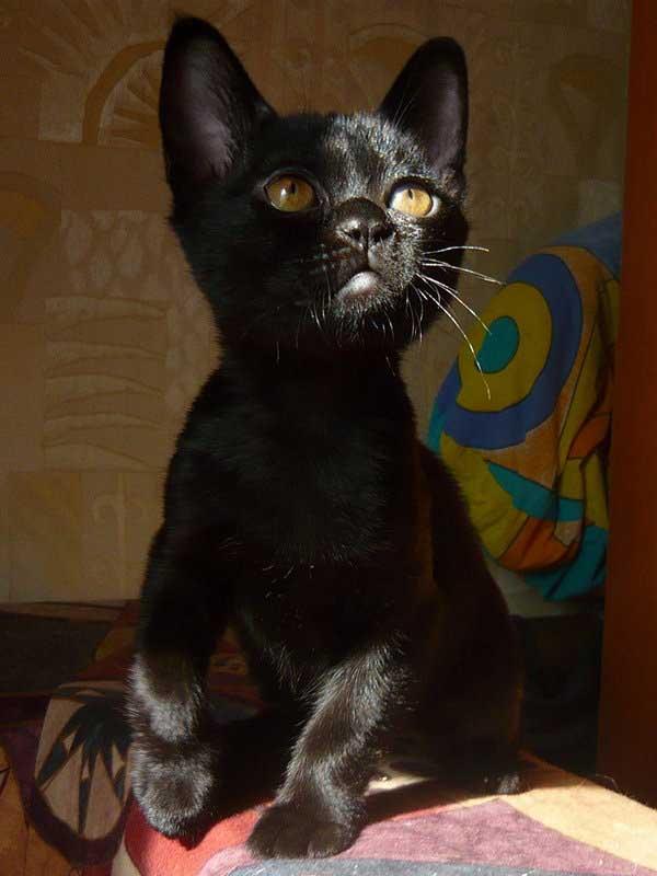 Цена бомбейской кошки