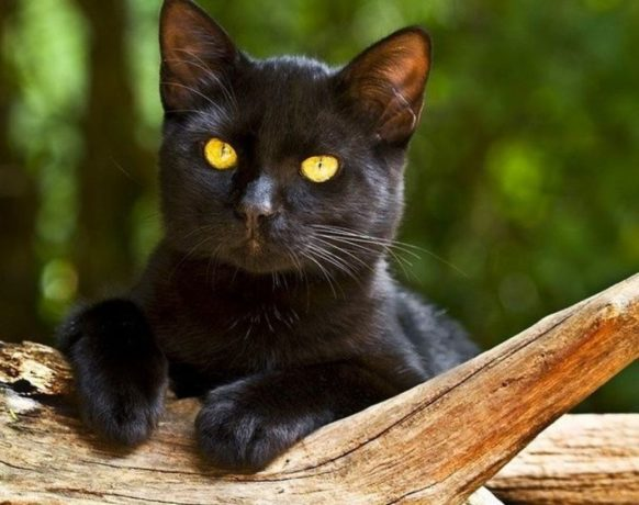 Бомбейская кошка: фото