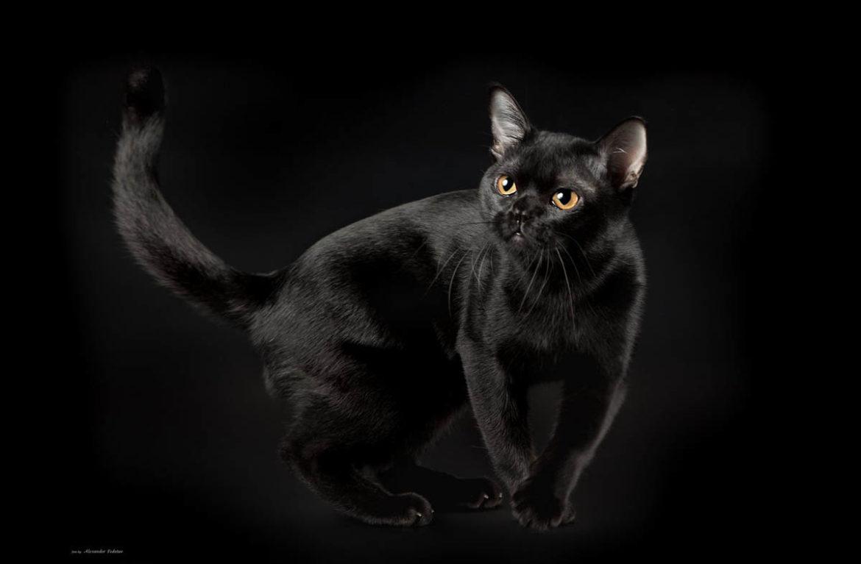 Бомбейская кошка: фото роковой красотки