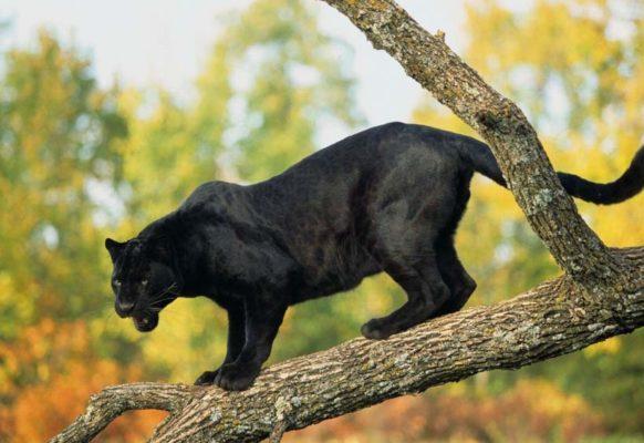 Бомбейская кошка: фото пантеры