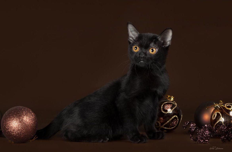 Бомбейская кошка: купить маленькую пантеру