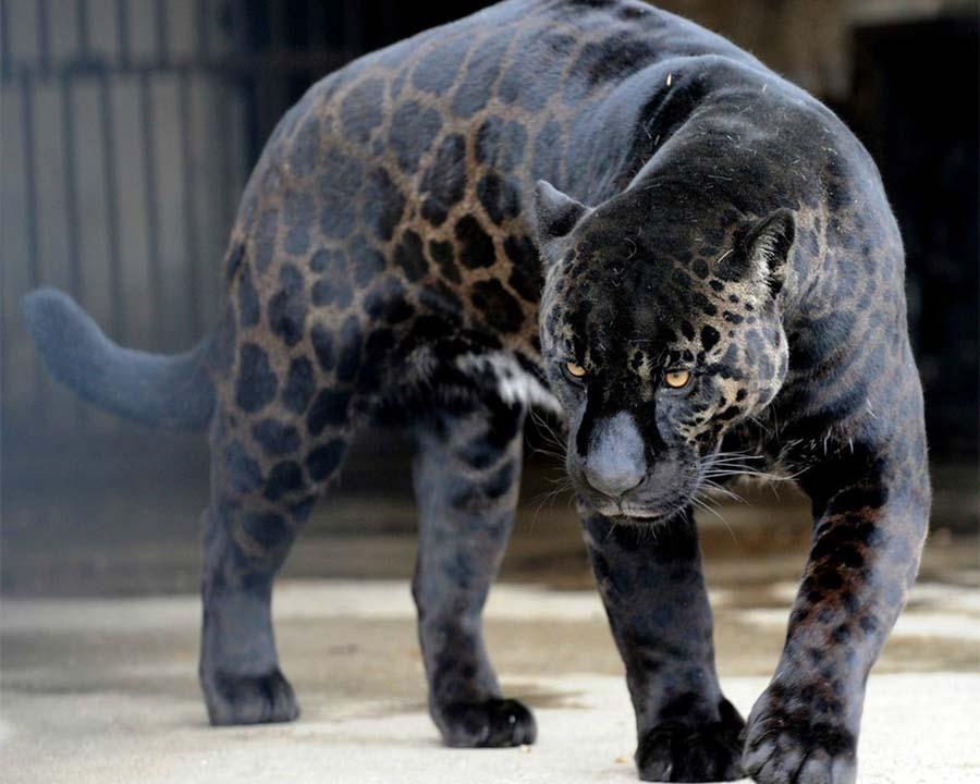 Бомбейская пантера
