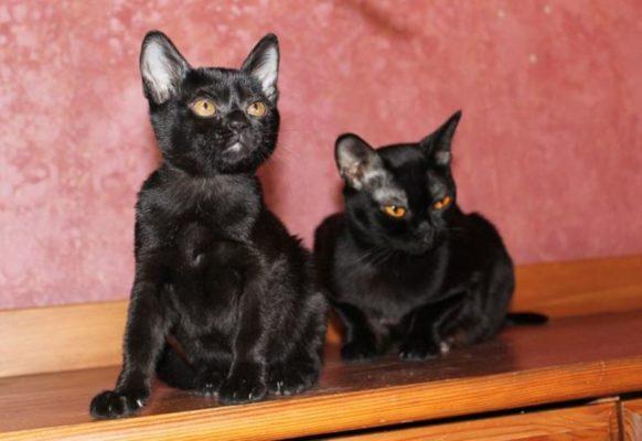 Бомбейская порода кошек: фото