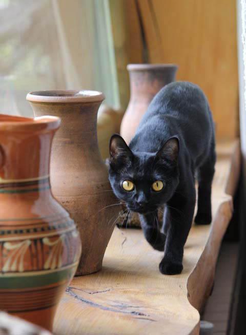 Бомбейская порода кошек: характер