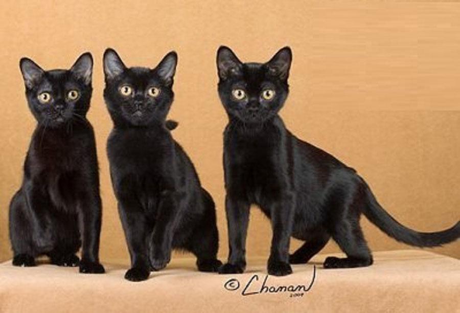 Бомбейские кошки: описание