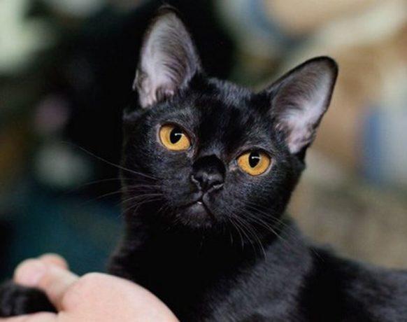 Фото бомбейского кота