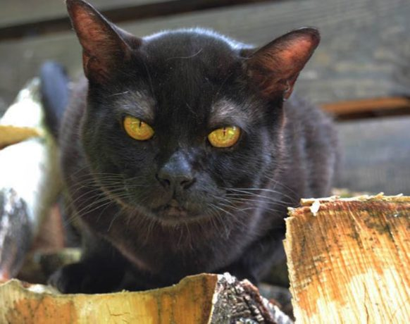Бомбейский кот: фото, цена