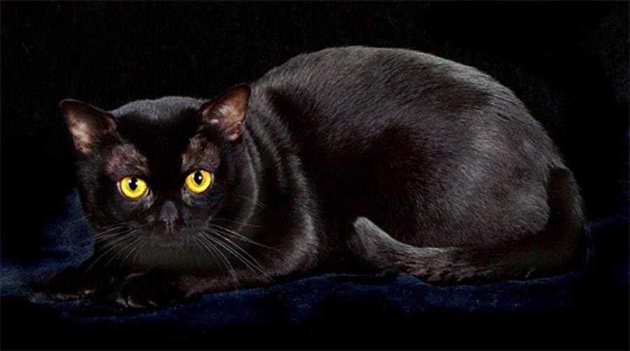 Бомбейский кот