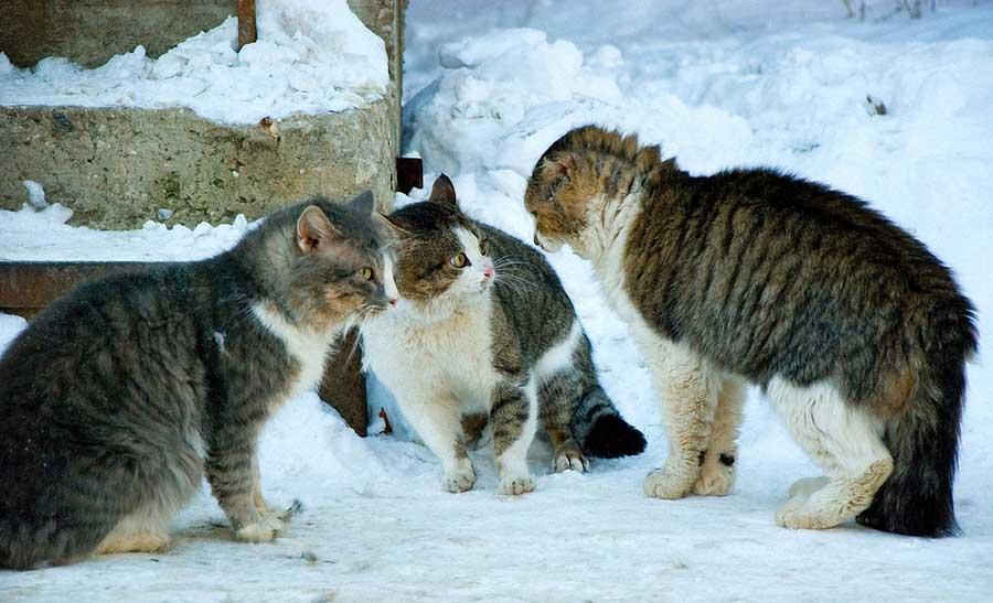 Брачные звуки кошек