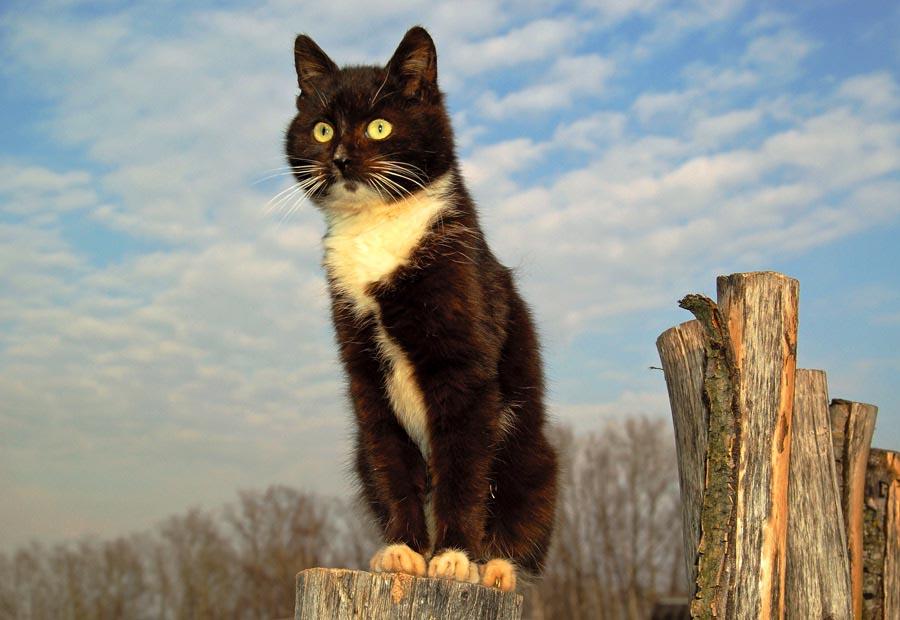 Брачные звуки кошки