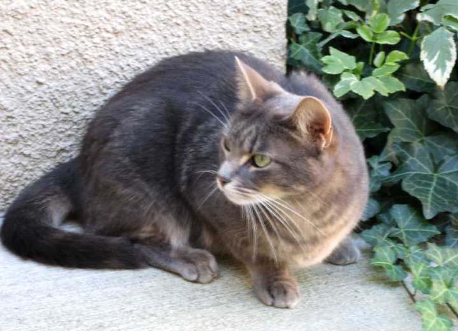 Бразильская гладкошерстная кошка: описание породы, фото